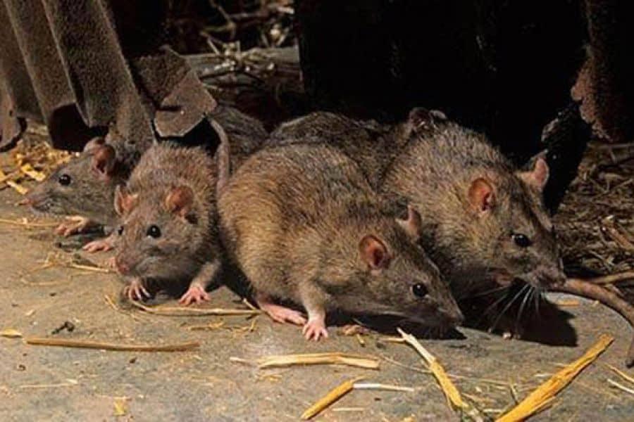 Enfermedades trasmitidas por los roedores: ¿Que hay que saber?