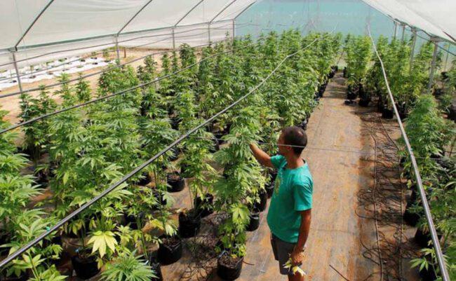 el-inta-cultivará-cannabis-en-la-patagonia-para-uso-público