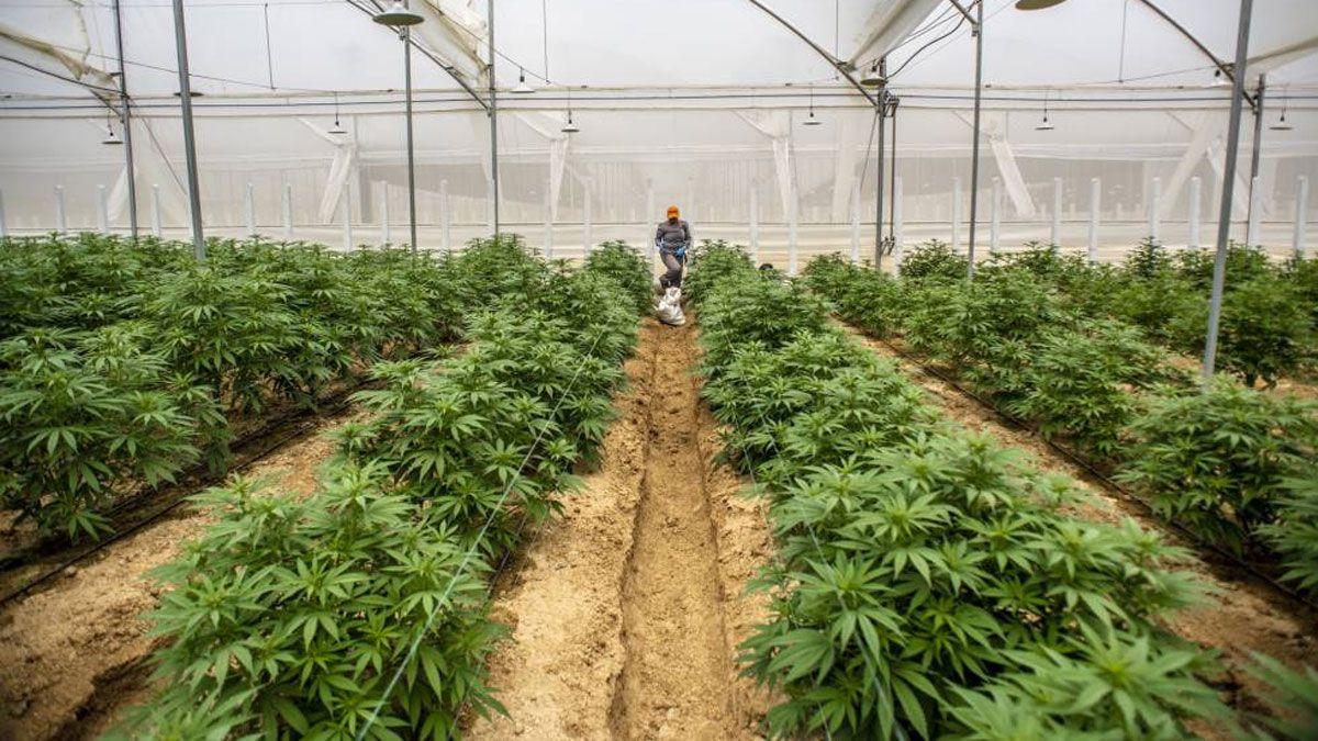Una ciudad argentina permitirá la siembra y el cultivo del cannabis medicinal